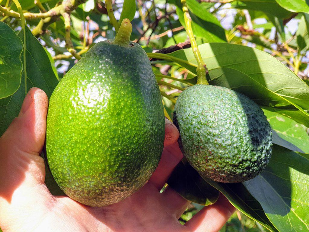 Holiday Home Encantada avocados food forest
