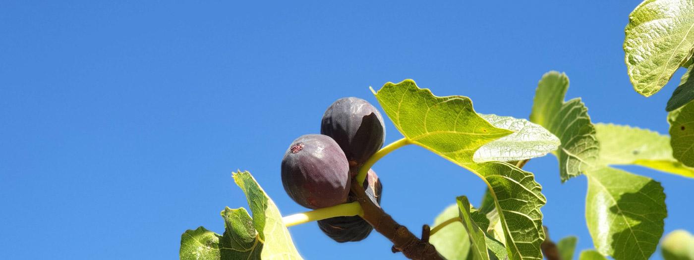 Encantada food forest figs